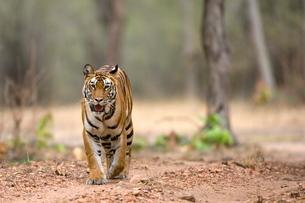 Female Indian tiger (Bengal tiger) (Panthera tigris tigris), Bandhavgarh National Park, Madhya Pradeの写真素材 [FYI03773825]