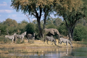 Elephant and zebras at the Khwai river, Moremi Wildlife Reserveの写真素材 [FYI03773838]