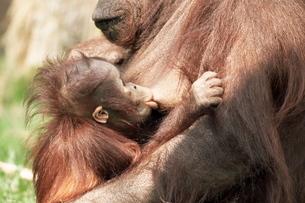 Orang-utan (Pongo pygmaeus), mother and young, in captivity, Apenheul Zoo, Netherlands (Holland)の写真素材 [FYI03773840]
