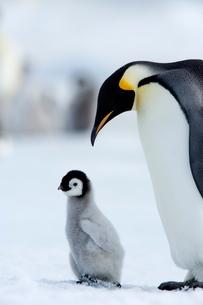 Emperor penguin (Aptenodytes forsteri) and chick, Snow Hill Island, Weddell Sea, Antarcticaの写真素材 [FYI03773859]