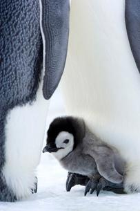 Emperor penguin chick (Aptenodytes forsteri), Snow Hill Island, Weddell Sea, Antarcticaの写真素材 [FYI03773861]