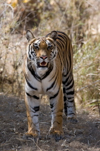 Indian tiger, (Bengal tiger) (Panthera tigris tigris), Bandhavgarh National Park, Madhya Pradesh staの写真素材 [FYI03773957]