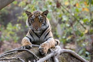 Indian tiger, (Bengal tiger) (Panthera tigris tigris), Bandhavgarh National Park, Madhya Pradesh staの写真素材 [FYI03773959]