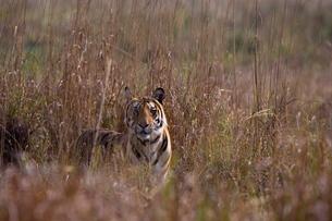 Indian tiger, (Bengal tiger) (Panthera tigris tigris), Bandhavgarh National Park, Madhya Pradesh staの写真素材 [FYI03773962]