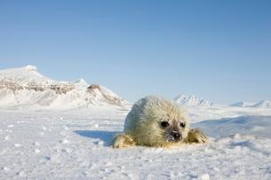 Ringed seal (Phoca hispida) pup, Billefjord, Svalbard, Spitzbergen, Arctic, Norway, Scandinaviaの写真素材 [FYI03773998]