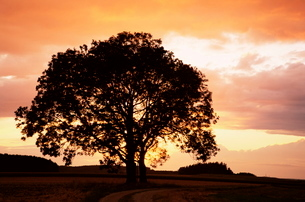 Silhouette of a tree at sunset, Bavariaの写真素材 [FYI03774118]