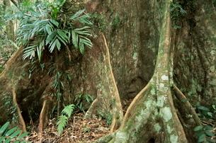 Root detail, Dorrigo National Park, New South Walesの写真素材 [FYI03774149]