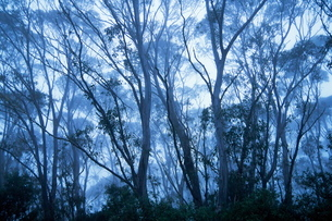 Eucalypts, New England National Park, New South Walesの写真素材 [FYI03774151]
