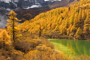 Pearl lake and larches, Yading Nature Reserve, Sichuan Provinceの写真素材 [FYI03774252]