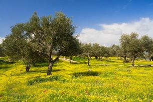 Wildflowers and trees, Umm Qais Roman City, Umm Qais, Jordan, Middle Eastの写真素材 [FYI03774346]