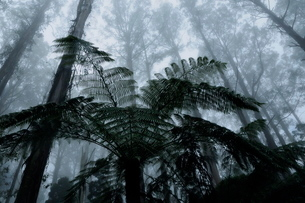 Mountain ash trees, the tallest flowering plants in the world, and tree ferns in fog, Dandenong Rangの写真素材 [FYI03774361]