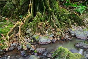 Tree roots and Avana stream, Avana Valley, Takitumu Conservation Area, Rarotonga, Cook Islandsの写真素材 [FYI03774375]