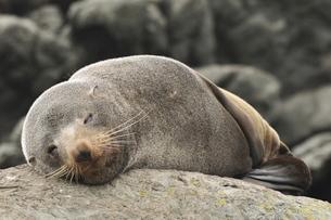Australian Fur Seal (Arctocephalus forsteri), near Kaikoura, Canterbury, South Island, New Zealandの写真素材 [FYI03774435]