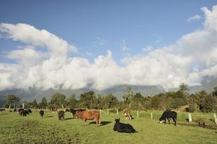Cattle on farmland, Cook Flat, West Coast, South Island, New Zealandの写真素材 [FYI03774445]