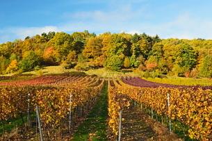 Vineyard landscape, near St. Martin, German Wine Route, Rhineland-Palatinateの写真素材 [FYI03774567]