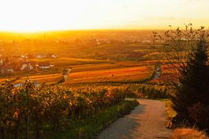 Vineyard landscape and Buehlertal village, Ortenau, Baden Wine Route, Baden-Wurttembergの写真素材 [FYI03774580]
