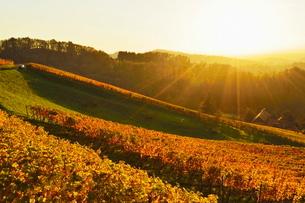 Vineyard landscape, Ortenau, Baden Wine Route, Baden-Wurttembergの写真素材 [FYI03774582]