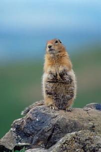Arctic squirrel (Citellus parry), Denali National Park, Alaska'の写真素材 [FYI03774659]