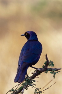 Greater blue-eared glossy starling (Lamprotornis chalybaeus), Kruger National Parkの写真素材 [FYI03774671]