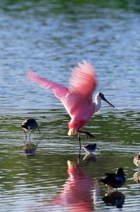 Roseate spoonbill (Ajaia ajaja), J. N. 'Ding' Darling National Wildlife Refuge, Florida'の写真素材 [FYI03774694]