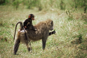 Olive baboon mother and baby (Papio cynocephalus anubis), Masai Mara National Reserveの写真素材 [FYI03774730]