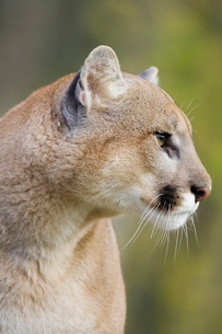 Mountain lion (cougar) (Felis concolor) staring, in captivity, Minnesota Wildlife Connection, Minnesの写真素材 [FYI03774746]