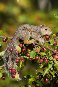Eastern gray squirrel (Sciurus carolinensis) in a crab apple tree, in captivity, Minnesota Wildlifeの写真素材 [FYI03774748]