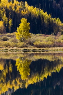 Aspens in fall colors reflected in Crystal Lake, near Ouray, Colorado'の写真素材 [FYI03774750]