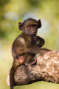 Chacma baboon (Papio ursinus), Greater Limpopo Transfrontier Park, encompassing the former Kruger Naの写真素材 [FYI03774759]