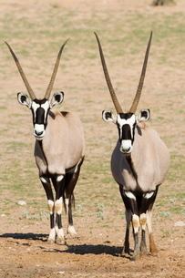 Two gemsbok (South African oryx) (Oryx gazella), Kgalagadi Transfrontier Park, encompassing the formの写真素材 [FYI03774760]