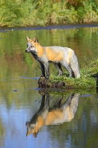 Cross phase red fox (Vulpes fulva) (cross fox) at waters edge with reflection, Minnesota Wildlife Coの写真素材 [FYI03774773]