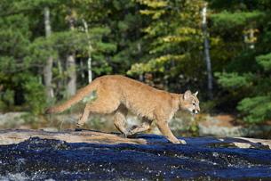 Captive mountain lion (cougar) (Felis concolor) crossing a stream, Minnesota Wildlife Connection, Saの写真素材 [FYI03774778]