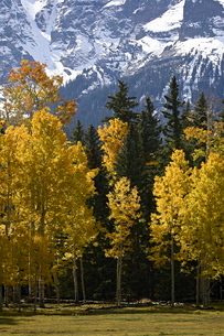 Fall colors of aspens with evergreens, near Ouray, Colorado, Uninted States of America'の写真素材 [FYI03774784]