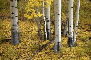 Aspens in fall colors, near Ouray, Colorado'の写真素材 [FYI03774787]