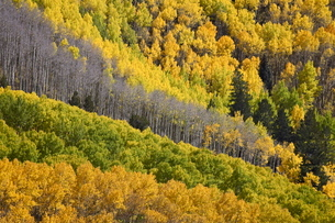Fall colors of aspens with evergreens, near Ouray, Colorado, Uninted States of America'の写真素材 [FYI03774788]
