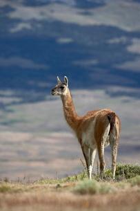 Guanaco (Lama guanicse) standing on a ridge, Torres del Paineの写真素材 [FYI03774802]