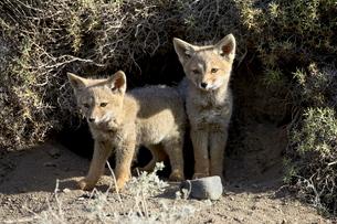 Two gray fox pups (Patagonian fox) (Pseudalopex griseus) at den entrance, Torres del Paineの写真素材 [FYI03774808]