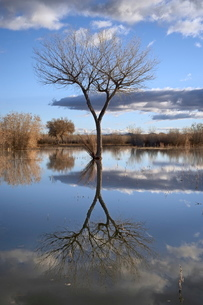 Bare tree reflected in a floodplain, Bosque del Apache, National Wildlife Refuge, New Mexico'の写真素材 [FYI03774809]