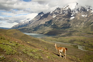 Guanaco (Lama guanicoe) with mountains and Lago Nordenskjsld in the background, Torres del Paine Natの写真素材 [FYI03774810]