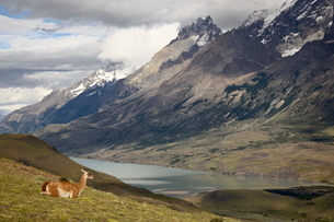 Guanaco (Lama guanicoe) with mountains and Lago Nordenskjsld in the background, Torres del Paine Natの写真素材 [FYI03774811]