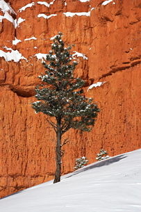 Pine tree in front of red-rock face with snow on the ground, Dixie National Forest, Utah. United Staの写真素材 [FYI03774816]