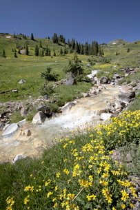Mountain stream through Palmeto Gulch with golden aster (Chrysopsis villosa), Gunnison National Foreの写真素材 [FYI03774840]