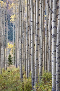Aspen grove with early fall colors, Maroon Lake, Colorado'の写真素材 [FYI03774843]