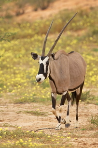 Gemsbok (South African oryx) (Oryx gazella) walking through yellow wildflowers, Kgalagadi Transfrontの写真素材 [FYI03774848]