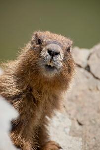 Yellowbelly marmot (Marmota flaviventris) near Cinnamon Pass, Uncompahgre National Forest, Colorado'の写真素材 [FYI03774850]
