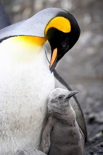 King penguin (Aptenodytes patagonica) adult and first season chick, Salisbury Plain, South Georgiaの写真素材 [FYI03774882]