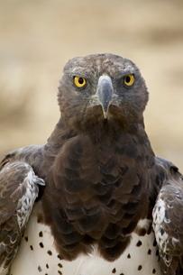 Martial eagle (Polemaetus bellicosus), Kgalagadi Transfrontier Park, encompassing the former Kalaharの写真素材 [FYI03774897]