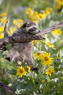 Baby raccoon (Procyon lotor) in captivity, Animals of Montana, Bozeman Montana'の写真素材 [FYI03774900]