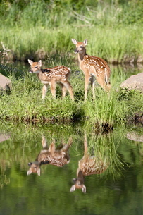 Two whitetail deer (Odocoileus virginianus) fawns with reflection, in captivity, Sandstone, Minnesotの写真素材 [FYI03774923]