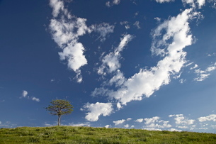 Clouds and pine, Custer State Park, South Dakota'の写真素材 [FYI03774925]